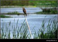 Hawk on a Stick