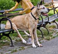 Great Dane Sitting On Park Bench