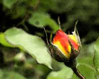 Red and Yellow Rosebud