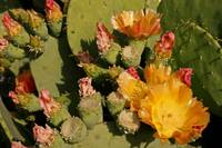 Cactus in Bloom 1