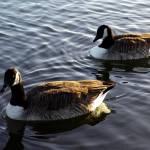 """Geese of Kensington Gardens"" by agelakis"