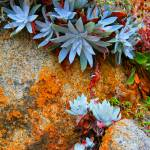 """Succulents at Pt. Lobos"" by burterwinphotography"
