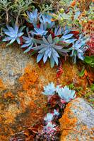 Succulents at Pt. Lobos