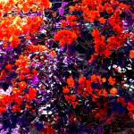 """""""The Bougainvillea Poster"""" by Juany"""