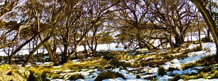 Gum Trees In The Snow 07 -NSW