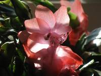 Holiday cactus bloom 1