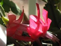 Holiday cactus bloom 2