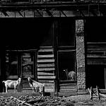 """Homage, Walker Evans, goats, ghost town"" by davidleeguss"