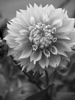 Black & White Dahlia Closeup