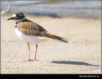 Killdeer Shadows