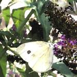"""Cabbage White"" by heyalicia"