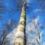 """Birch"" by andrewmew"