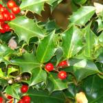 """Holly with Red Berries"" by AnimalMagnatism"