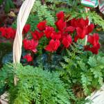 """Cyclamen Christmas Basket"" by AnimalMagnatism"