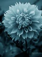 Teal Dahlia Bloom
