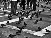 Pigeons are People too