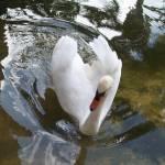"""Swan"" by dinnerissublime"