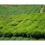 """Tea Plantation"" by dreamarts"