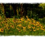 """Texas Black-eyed Susans"" by touchartist"