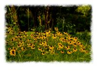 Texas Black-eyed Susans