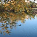 """""""Ducks on Peaceful Autumn Pond"""" by Groecar"""
