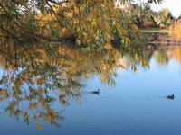 Ducks on Peaceful Autumn Pond