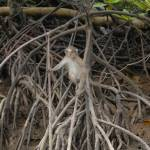 """juvenile macaque monkey in the mangrove"" by DougFR"
