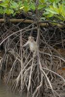 juvenile macaque monkey in the mangrove