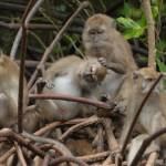 """long-tailed macaque monkeys grooming"" by DougFR"