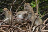long-tailed macaque monkeys grooming