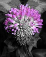 Altered Red Clover