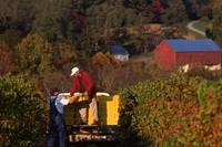 Bringing in the grape harvest