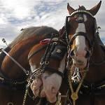 """""""Homage, Robert Doisneu, Budweiser horses"""" by davidleeguss"""