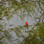 """Vermilion FlyCatcher in Tree"" by shzimmerman"