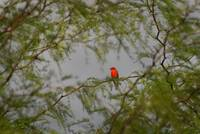Vermilion FlyCatcher in Tree