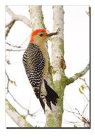 Redbellied Woodpecker