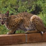 """Bobcat"" by sostroff"