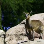 """Klipspringer"" by johncorney"