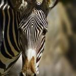 """Zebra #1"" by johncorney"