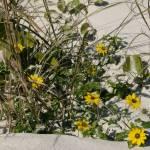 """""""Beach Flowers"""" by ErictheElder"""