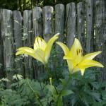 """Yellow Lillies"" by ErictheElder"