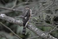 Hawk in the hemlock