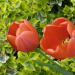 """Tulips 1"" by ErictheElder"