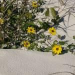 """""""Beach Flowers too"""" by ErictheElder"""
