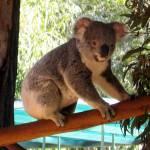 """Cuddly koala"" by bekahpaige"