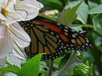 paintedwood-600-butterfly-dsc04171