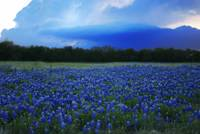 Texas BlueBonnets - Wildflowers
