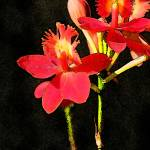 """red orchids"" by HawaiiFineArt"