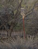 Great Horned Owl II