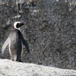 """African Penguin"" by maxfear"